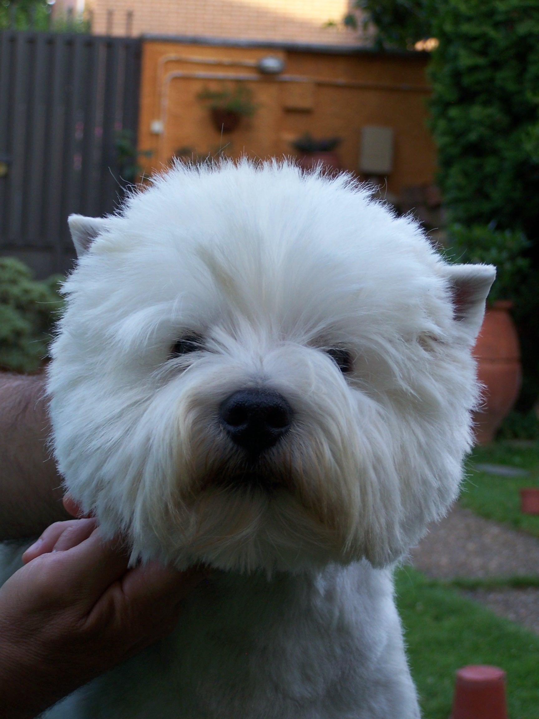 Westie. Arreglo de la cabeza - Peluquería y cosmética canina